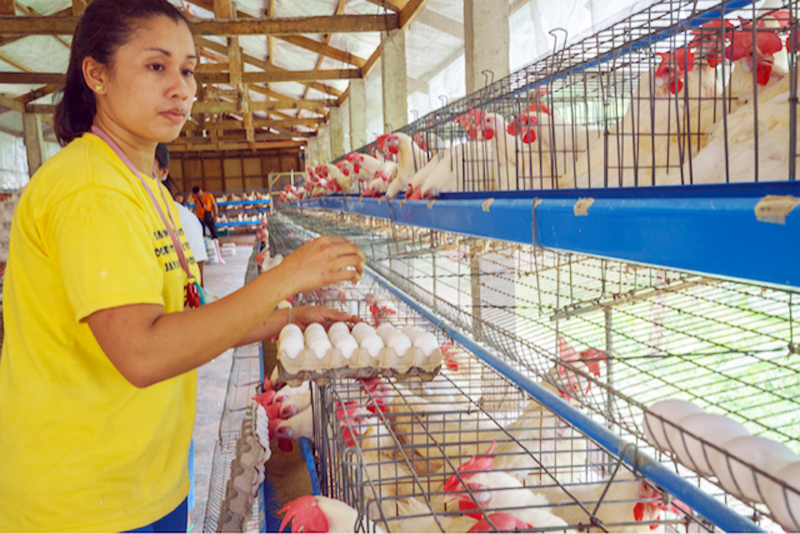 Filminera and Phil Gold have embarked on poultry production and other livelihood projects  that enable Masbate folk to eke out a living in the time of  the COVID-19 pandemic.