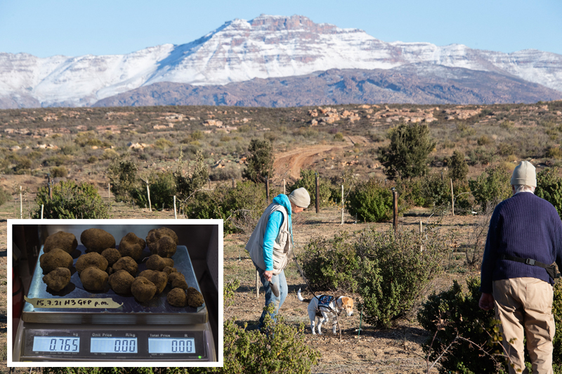 Trevor (right) and Marda Norris, and their dog, Clyde, search on the Woodford Truffle farm, for Black Winter Perigord truffles in an orchard of specially-planted oak trees, close to the town of Ceres, in the Western Cape Province, on July 16, 2021. An afternoon harvest of Black Winter Perigord truffles (inset) is weighed in the kitchen on the family farm. AFP