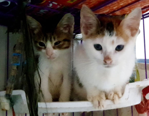 These  kittens were just on the streets walking near a construction site. Rescuer Tet Santos saw them and decided to save them right there and then.  Tet has been giving good food and lots of water to help them  grow healthy and strong.  This will also ensure they will not have a lot of medical issues when they are senior cats. They are very good cats, Tet said. She named them Bridget (more white cat) and Gie (gray and white cat) Both are neutered already.