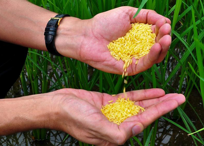 GMO rice production okayed for the first time