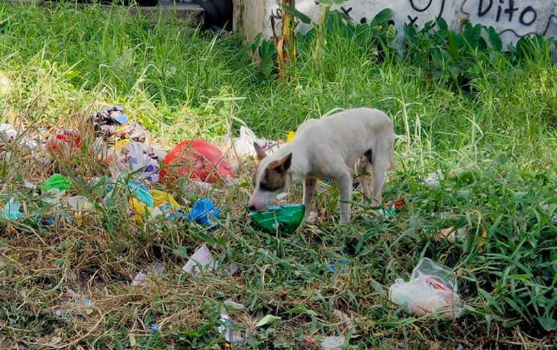 Heartbreaking: This dog scavenges for food to survive.