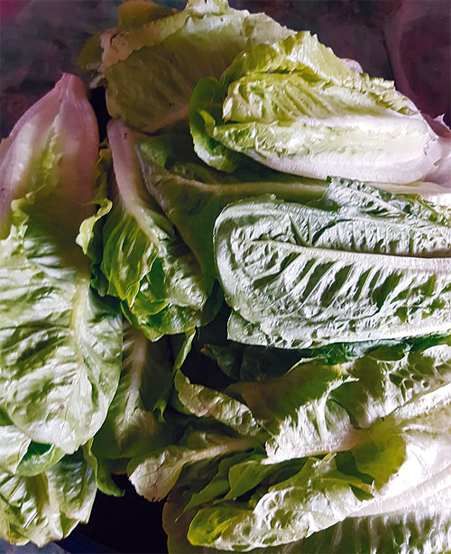 Romaine lettuce is very good for the liver. If the liver is healthy, the dog stands a good chance of living a good, long life. Romaine lettuce is given to dogs fresh. We give one leaf to a small dog and two leaves to a big dog. It is best to give lettuce during hot months as it is a cooling food.